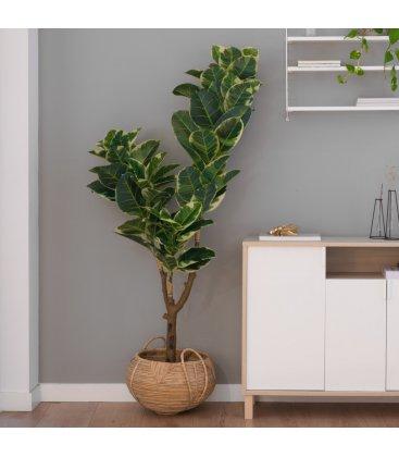 Planta artificial FICUS TINEKE (40cmx185cm)
